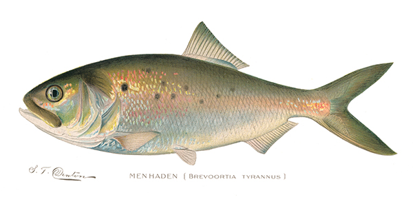 Menhaden Illustration