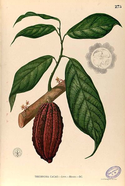 "Theobroma Cacao (""food of the gods"") By Francisco Manuel Blanco (O.S.A.)."
