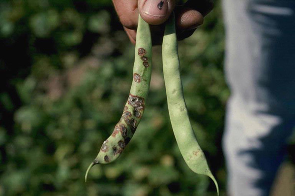 Photo Courtesy of Howard F. Schwartz, Colorado State University, Bugwood.org http://www.invasive.org/browse/detail.cfm?imgnum=5363925#sthash.pRhlllik.dpuf