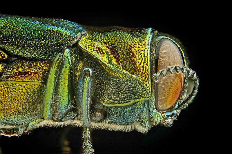 The emerald ash borer. Photo Courtesy of The Cornell Plant Pathology Photo Lab. http://www.ppath.cornell.edu/PhotoLab/