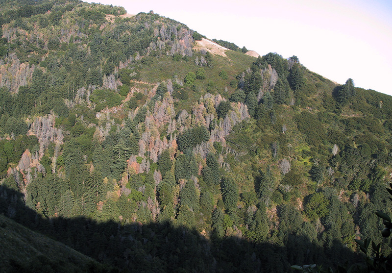A hillside in Big Sur, California, devastated by sudden oak death.